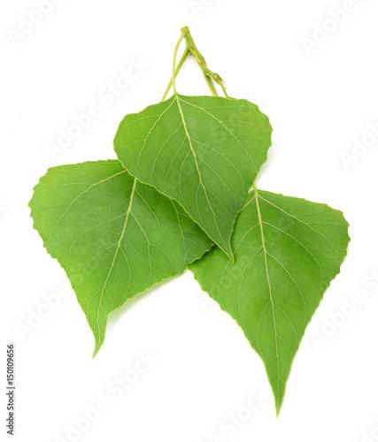 liscie-topoli-zielonej