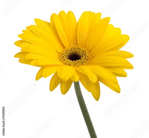 Fotobehang Gerbera Yellow gerbera daisy