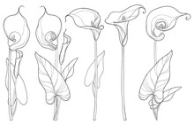 Vector Set With Calla Lily Flo...