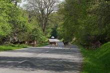 Roe Deers Crossing The Road Wi...