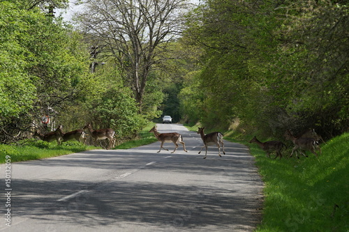 Roe deers crossing the road with car at background. Way throw the forest.
