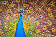 Indian Peafowl Or Blue Peafowl...