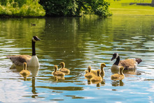 Canada Geese Parents And Their...