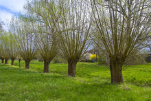 Willow Trees In The Rural Coun...