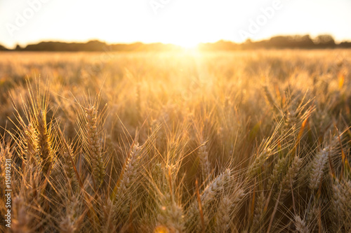 Barley Farm Field at Golden Sunset or Sunrise Fotobehang