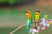 Chestnut-headed Bee-eater Or Merops Leschenaulti, Beautiful Bird On Branch With Colorful Background.