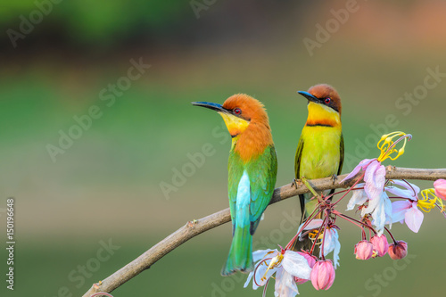 Poster Vogel Chestnut-headed Bee-eater or Merops leschenaulti, beautiful bird on branch with colorful background.