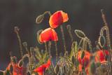 Fototapeta Papavers - Kwitnące maki wśród pól