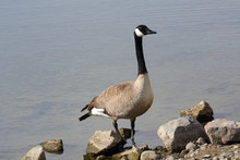 Canada Goose Standing On Rocky...