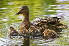 Duck, Baby Duckling