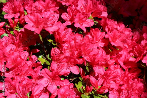Plakat Czerwona azalia kwitnie w wiosny świetle słonecznym