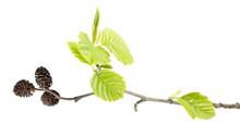 Branch Of Grey Alder (Alnus In...