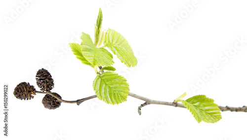 Branch of grey alder (Alnus incana) with mature cones and green leaves isolated Wallpaper Mural