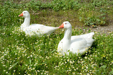 WHITE DUCKS Goose