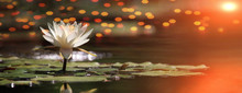 Lotus Flower On A Lake With Sunrise And Reflections