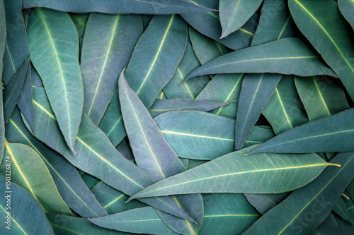 Obraz the Nature Eucalyptus leaves  background - fototapety do salonu