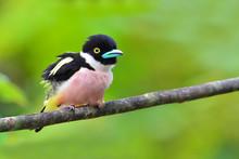 Black-and-Yellow Broadbill Bird