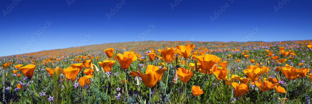 Dzikie California Maki w Antelope Valley California Poppy Reserve