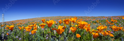Fototapeta Wild California Poppies at Antelope Valley California Poppy Reserve