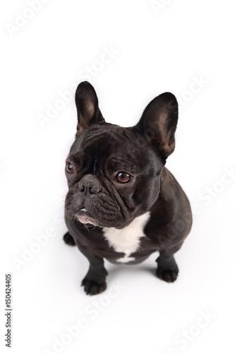 Deurstickers Franse bulldog Black french bulldog on white background
