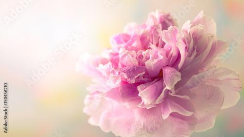 Obraz na plátně  Pink peony