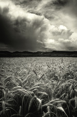 Obraz na Plexidramatic storm clouds sky over wheat field black and white landscape