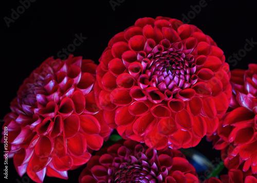 In de dag Dahlia A bunch of red garden dahlias on black.
