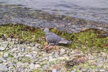A Blue Pigeon Steps On A Shingle Bank Near The Seaside