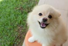 White Puppy Pomeranian Dog Cute Pet Smile Happy In Garden