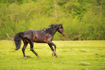 The Dark Stallion runs along the green pasture in the spring against the background of the green forest