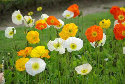 Plakat Wielobarwne maki w ogrodzie wiosną