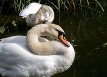 Preening Swans On A Lake