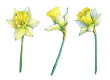 Narcissus (common Names Daffod...