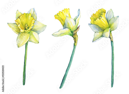 Photographie  Narcissus (common names daffodil), flowering plant with yellow flowers