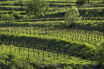 FototapetaVineyard hill with terracing