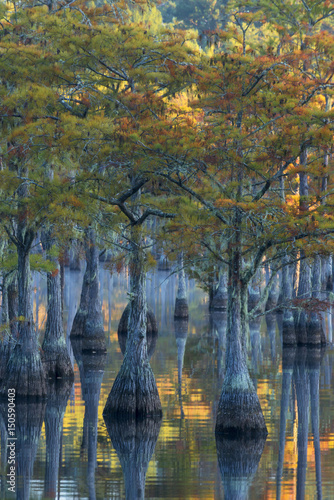 Usa, Georgia, George L. Smith State Park, Pond Cyprus (Taxodium ascendens) in early morning light