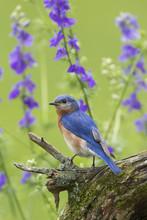 Eastern Bluebird (Sialia Sialis) Male In Flower Garden, Marion County, IL