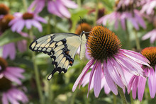 Giant Swallowtail Butterfly (Papilio Cresphontes) On Purple Coneflower (Echinacea Purpurea) Marion County, IL