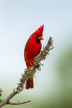 USA, Texas, Hidalgo County. Male Cardinal On Limb. Credit As: Cathy & Gordon Illg / Jaynes Gallery / DanitaDelimont.com