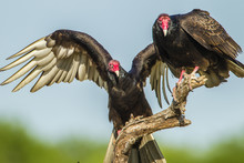 USA, Texas, Hidalgo County. Close-up Of Two Turkey Vultures On Limb. Credit As: Cathy & Gordon Illg / Jaynes Gallery / DanitaDelimont.com