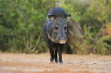 Collared Peccary, Javelina (Tayassu Tajacu), Adult, South Texas, USA