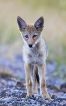 USA, Montana, Red Rock Lakes National Wildlife Refuge, Coyote Pup Standing In Roadway