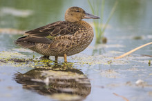 USA, Wyoming, Sublette County, Young Cinnamon Teal Stands In A Wetland.