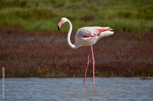 Papiers peints Flamingo Flamant rose (Phoenicopterus roseus)