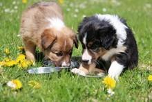 Zwei Border Collie Welpen Haben Spaß Im Garten Mit Trinkschüsseln