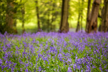 Bluebells In The English Count...