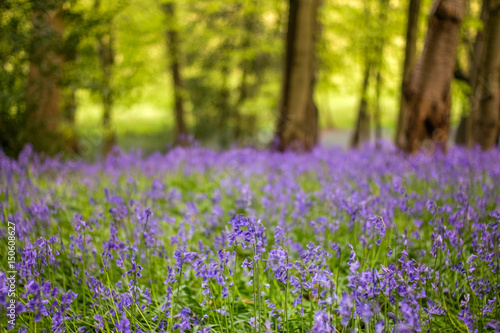 Foto auf Acrylglas Wald im Nebel Bluebells in the English Countryside, Morning Light