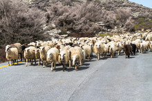 A Flock Of Sheep On The Road I...