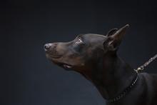 Dog Of Doberman Breed