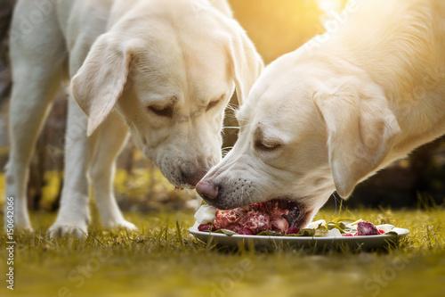 Fotografie, Obraz  Zwei junge labrador welpen fressen einen haufen Fleisch